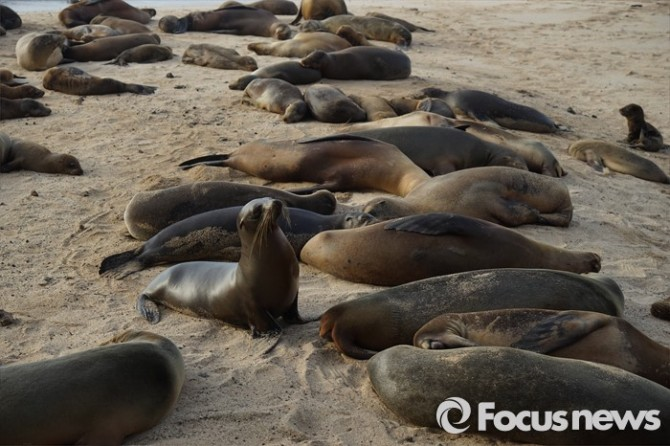 천적이 없는 갈라파고스는 바다사자들의 지상 낙원이다. 먹이와 서식환경이 좋아 곳곳에서 쉽게 목격된다.  - <사진제공=전수경> 2016.03.15 포커스포토 photo@focus.kr 제공